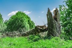 Den brutna stammen av ett stort gammalt träd, abstrakt bakgrund för natur Arkivfoton