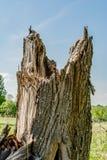 Den brutna stammen av ett stort gammalt träd, abstrakt bakgrund för natur Royaltyfria Foton