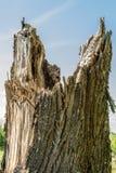 Den brutna stammen av ett stort gammalt träd, abstrakt bakgrund för natur Royaltyfria Bilder