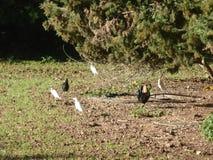 Den Bulcubus ibits och tuppen på den Campanet byn royaltyfria foton