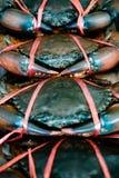 den bundna sågtandade gyttjakrabban på krabbaförsäljningsmagasinet Royaltyfria Foton