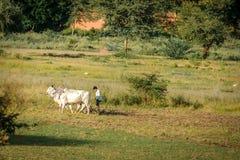 Den Burmese bonden arbetar med tjurar på hans risfält med härliga forntida tempel och pagodbakgrund i det arkeologiskt royaltyfri fotografi