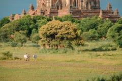 Den Burmese bonden arbetar med tjurar p? hans risf?lt med h?rliga forntida tempel och pagodbakgrund i det arkeologiskt arkivfoto