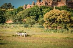 Den Burmese bonden arbetar med tjurar p? hans risf?lt med h?rliga forntida tempel och pagodbakgrund i det arkeologiskt arkivbilder