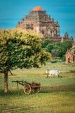 Den Burmese bonden arbetar med tjurar p? hans risf?lt med h?rliga forntida tempel och pagodbakgrund i det arkeologiskt royaltyfri bild