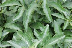 Den Bush pionen med gräsplan lämnar att växa i en trädgård Royaltyfri Fotografi