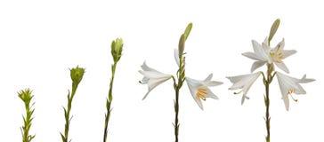 Den candidum följdliliumen eller den Madonna liljan på en vit tillbaka Royaltyfri Foto