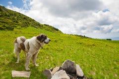 Den Carpathian herdehunden royaltyfri fotografi
