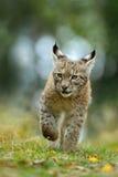 Den Cat Eurasian lodjuret i det gröna gräset i tjeckisk skog, behandla som ett barn fågelungen Royaltyfria Bilder