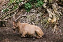 Den Caucasian bergsfåret med enorma horn i en naturlig livsmiljö ligger på vaggar i bergen wild djur Arkivfoton