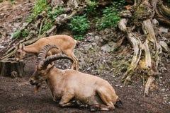 Den Caucasian bergsfåret med enorma horn i en naturlig livsmiljö ligger på vaggar i bergen wild djur närliggande Arkivbild