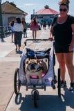 Den Caucasian mellersta åldriga kvinnan går hennes stora tjurhund, som är i en vovvesittvagn, på Huntington Beachpir på detta dat arkivbilder