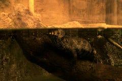 Den Caymen krokodilen bevattnar under Arkivfoto