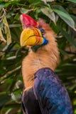 Den Celebes hornbillfågeln med det röda hornet och den orange näbb för guling färgar Arkivfoton