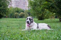 Den centrala asiatiska herdehunden eller Alabai, är en forntida avel av hunden från regionerna av centrala Asien arkivbild