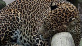 Den Ceylon leoparden sover på trädet stock video