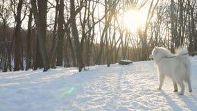 Den charmiga fluffiga samoyedhunden går på koppeln i vinter parkerar lager videofilmer