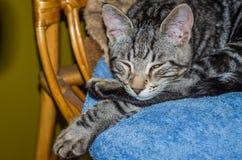 Den charmiga gråa fluffiga katten med ögon stängde sig och att sova på en stol Royaltyfri Bild