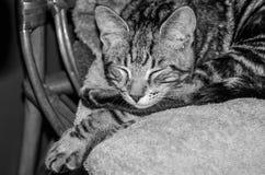 Den charmiga gråa fluffiga katten med ögon stängde sig och att sova på en stol Royaltyfri Fotografi