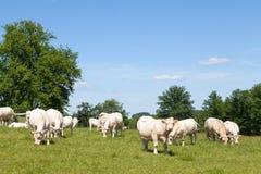 Den Charolaisnötköttkor och tjuren som betar i en gräsplan, betar royaltyfri fotografi