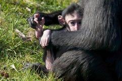 Den Chimpansee modern och behandla som ett barn Fotografering för Bildbyråer