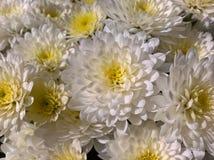 Den Chrysanths mumen blommar vit Arkivfoton