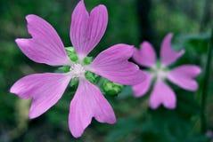 Den Chuquirahua blomman av Andesna stänger sig upp Royaltyfri Foto