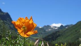 Den Chuquirahua blomman av Andesna stänger sig upp Arkivbilder