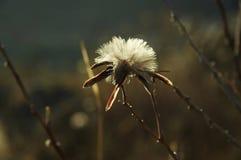 Den Chuquirahua blomman av Andesna stänger sig upp Fotografering för Bildbyråer