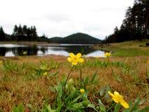 Den Chuquirahua blomman av Andesna stänger sig upp Arkivfoto