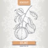 Den citrusa bergamiaaka bergamotfilialen skissar på elegant snör åt bakgrund Royaltyfri Fotografi