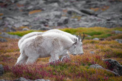 Den Colorado bergsfåret skuggar Fotografering för Bildbyråer