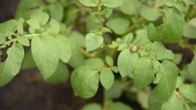 Den Colorado potatisskalbaggen äter potatisen lämnar potatisar i trädgården Plågor och parasit förstör skördar i jordbruk stock video
