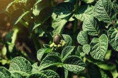 Den Colorado potatisskalbaggen äter potatissidor, närbild Colorado Pota Arkivfoto