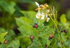 Den Colorado skalbaggen på potatisbladet, larver som matar på potatisen, spricker ut, colorado äter potatisbladet Arkivfoto
