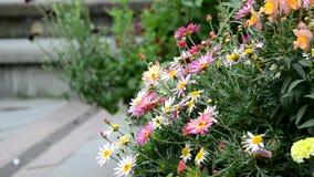 Den Colorfull gerberaen blommar framme av en springbrunn stock video
