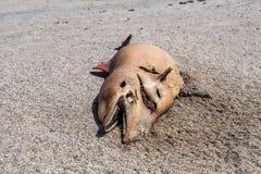 Den döda Bottlenosedelfin ligger på kusten Arkivbild