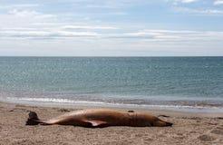 Den döda Bottlenosedelfin ligger på kusten Arkivfoton