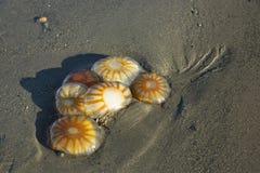 Den döda djupfrysta manet tvättade sig upp på stranden arkivfoto