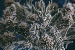 Den döda färgrika garneringväxten rotar Fotografering för Bildbyråer