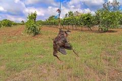 Den döda fågeln gillar fågelskrämman Arkivbild