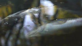 Den döda fisken i den förorenade floden, förorening orsakade vid avfalls som kastades i vatten arkivfilmer