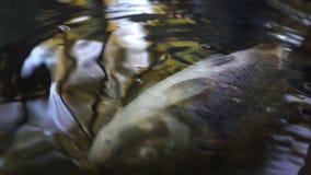 Den döda fisken i flodvattenförorening, industriell avfalls orsakar miljö- skada royaltyfria bilder
