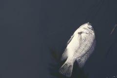 Den döda fisken svävade på yttersidan av kloak Royaltyfri Foto