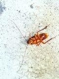 Den döda kackerlackan Royaltyfria Foton