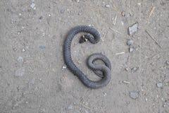 Den döda ormen Det dött, krossat vid maskinsnoken white för orm för bakgrundsillustration non giftig Royaltyfri Foto