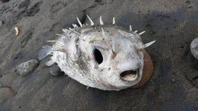 Den döda pufferfisken tvättade sig upp på stranden Royaltyfri Foto