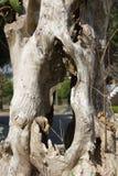 Den döda treen förgrena sig Royaltyfri Fotografi