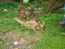 Den döda treen rotar royaltyfri bild