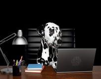 Den Dalmatian hundchefen gör något arbete på datoren Isolerat på svart arkivfoton